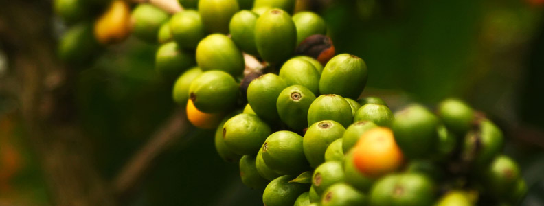Coffee beans ready to be picked