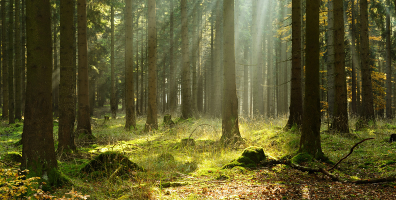 forest scene with sunlight streaming down.