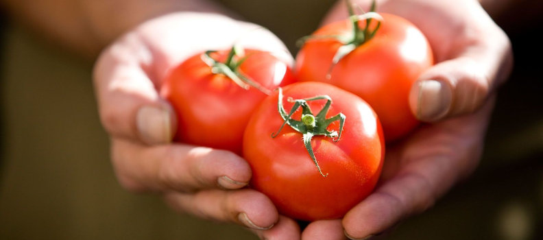 two hands holding 3 tomatoes